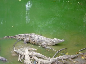 crocodile trecicogne 1