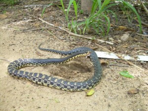 serpent trecicogne