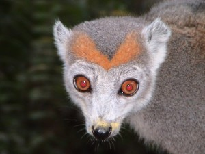 manambolo lemur1